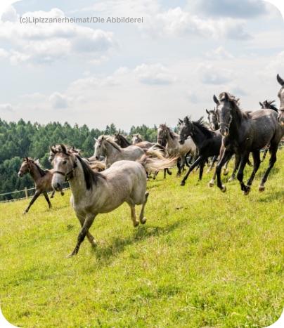 Pferde galoppieren über grüne Weide